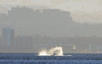 Spectacular humpback whale in front of Edinburgh Castle